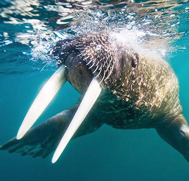 Клык моржа фото 2